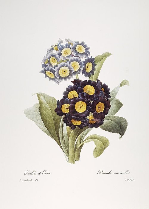 1833 Greeting Card featuring the photograph Redoute: Auricula, 1833 by Granger