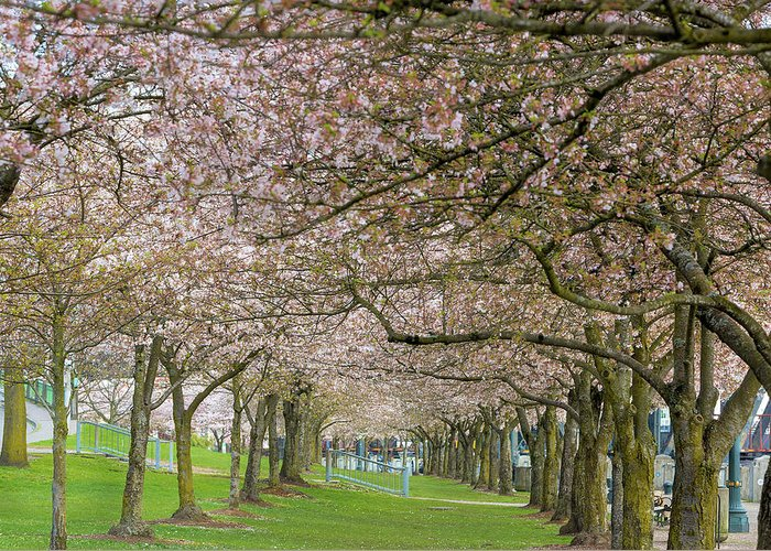 Cherry Blossom Greeting Card featuring the photograph Rows Of Cherry Blossom Trees In Spring by Jit Lim