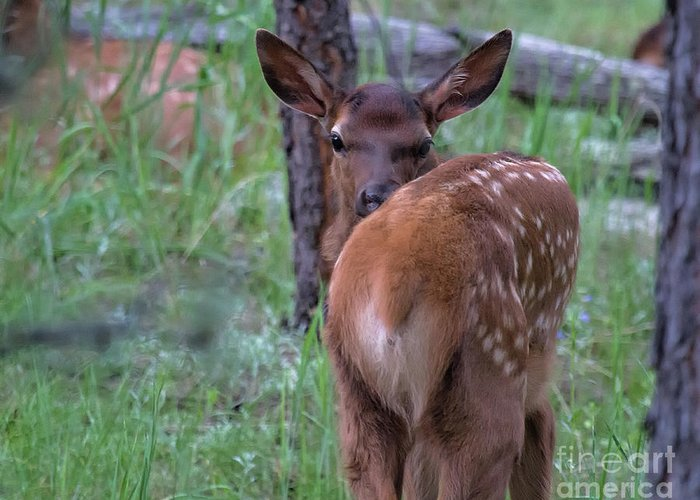 Baby Elk Greeting Card featuring the photograph Rubber Necking by Jim Garrison
