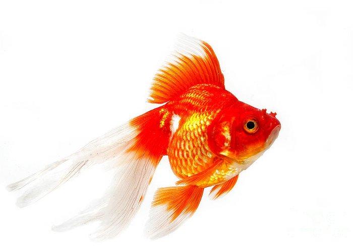 Ryukin Goldfish Carassius Auratus Greeting Card