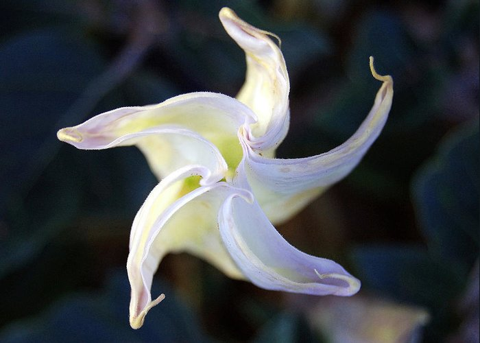 Datura Greeting Card featuring the photograph Sacred Datura by Heather S Huston
