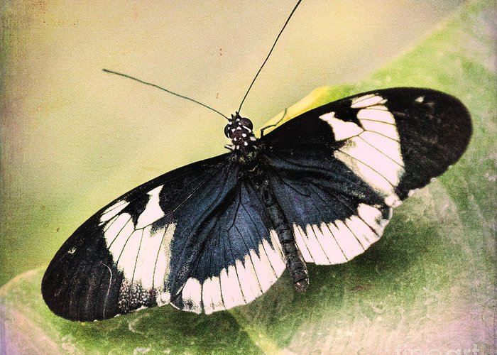 Insect Greeting Card featuring the photograph Sapho Longwing Butterfly by Susan Grube