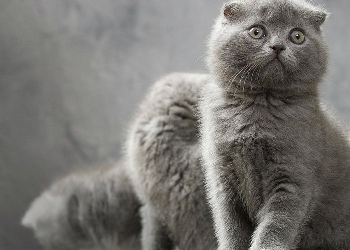 Scottish Fold Cats Greeting Card featuring the photograph Scottish Fold Cats by Evgeniy Lankin