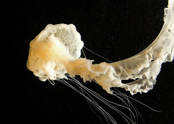 Sea Greeting Card featuring the photograph Sea Nettle Jellyfish by Mindy Linford