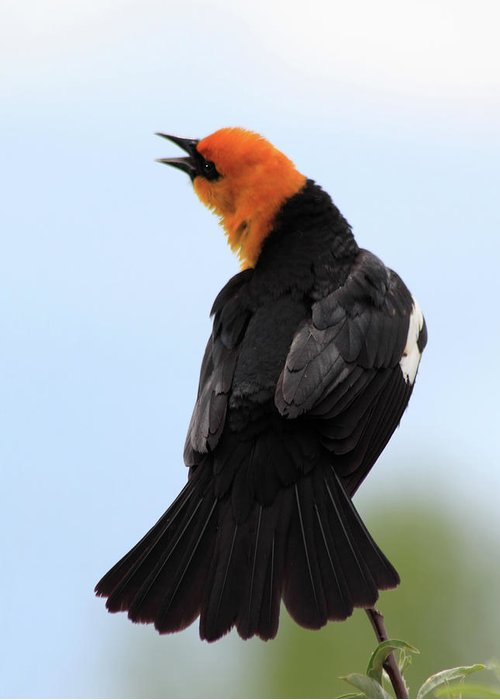Yellow-headed Blackbird Greeting Card featuring the photograph Showing Off by Shane Bechler