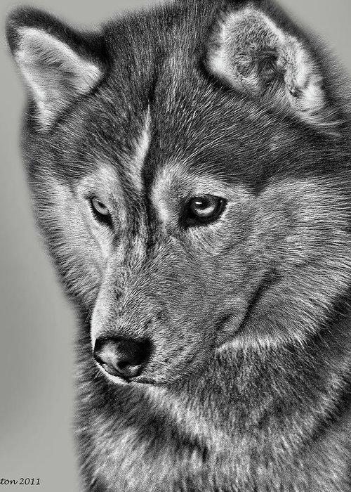 Siberian Husky Greeting Card featuring the digital art Siberian Husky 2 by Larry Linton