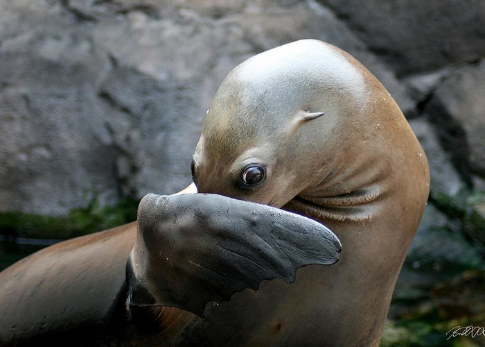 Sea Lion Greeting Card featuring the photograph Somebody Pooted by Jason Blalock