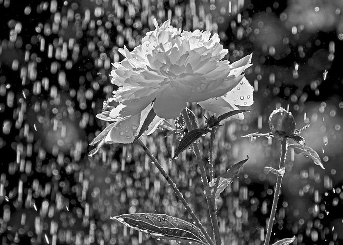 Peony Greeting Card featuring the photograph Spring Rain - 365-13 by Inge Riis McDonald
