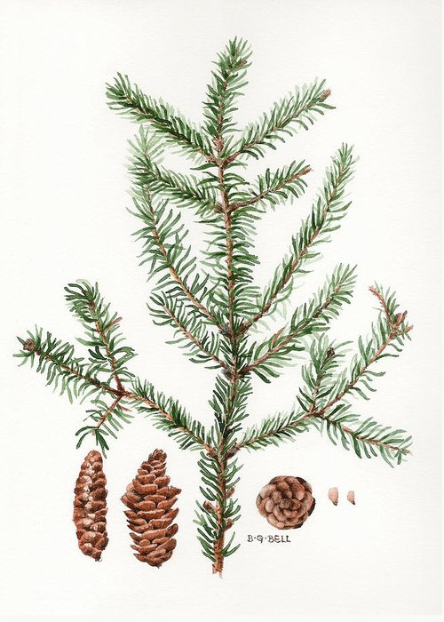 Spruce Greeting Card featuring the painting Spruce Twig by Betsy Gray Bell