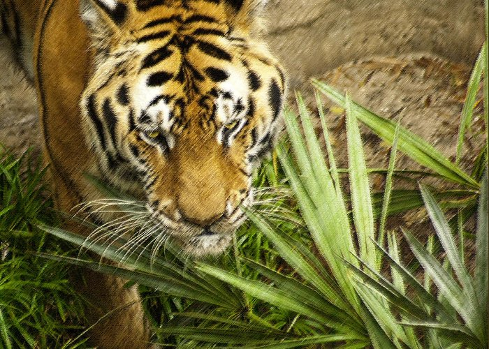 Bengal Tiger Greeting Card featuring the photograph Stalking Tiger by Carolyn Marshall