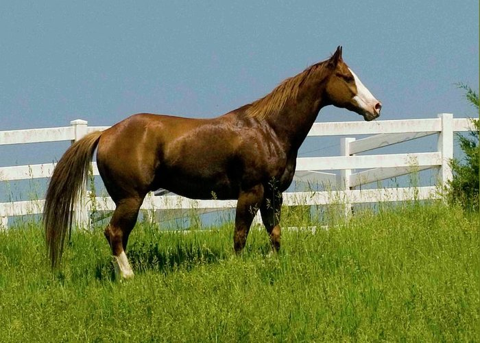 Horse Greeting Card featuring the photograph Standing Tall by Michael Barry