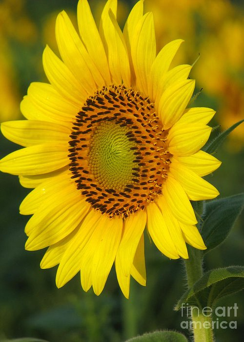 Sunflowers Greeting Card featuring the photograph Sunflower by Amanda Barcon