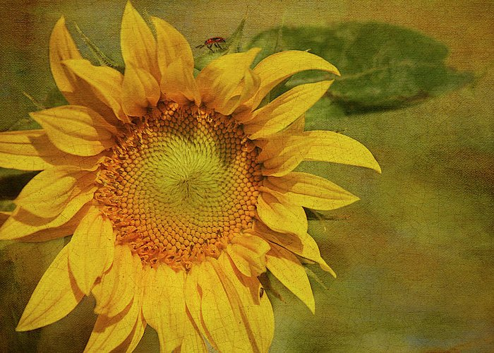 Sunflower Greeting Card featuring the photograph Sunflower by Cindi Ressler