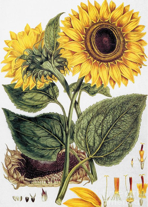 1777 Greeting Card featuring the photograph Sunflower by Granger