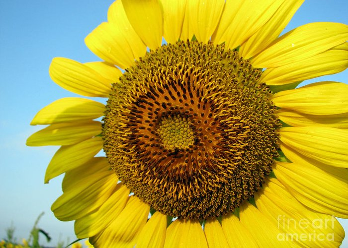 Sunflower Greeting Card featuring the photograph Sunflower Series by Amanda Barcon
