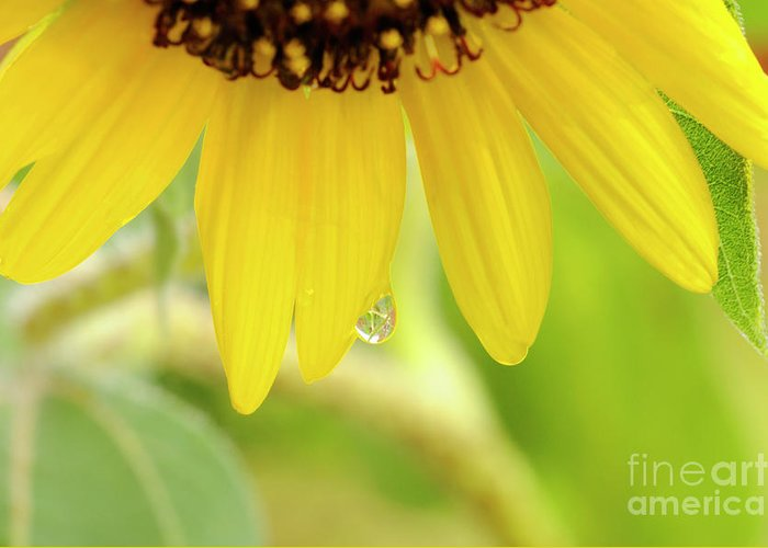 Sunflower Greeting Card featuring the photograph Sunflowers by LS Photography