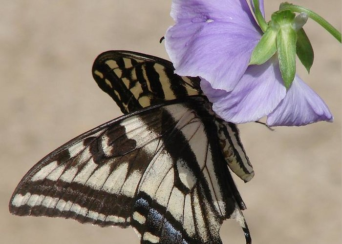 Butterfly Greeting Card featuring the photograph Swallowtail by Liz Vernand
