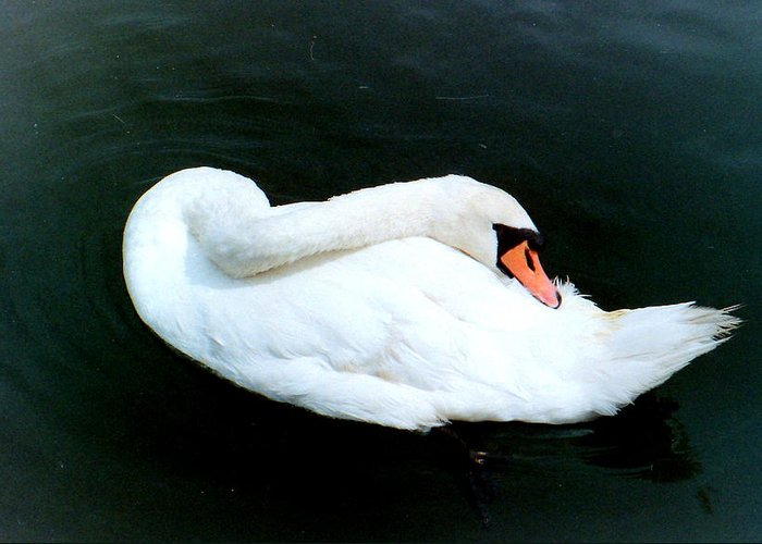 Swan Greeting Card featuring the photograph Swan At Rest by Richard Mansfield