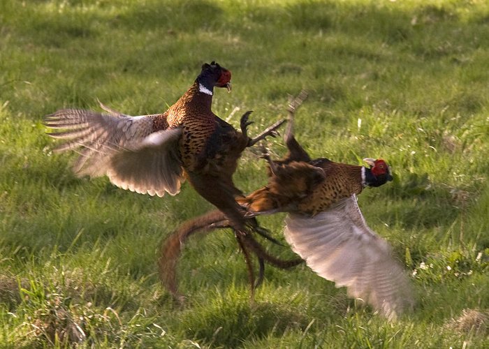 Pheasant Greeting Card featuring the photograph The Sparring by Angel Ciesniarska