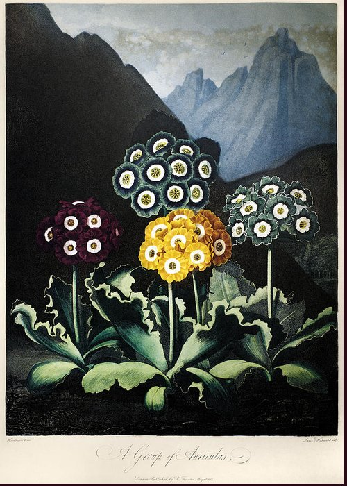 1807 Greeting Card featuring the photograph Thornton: Auriculas by Granger