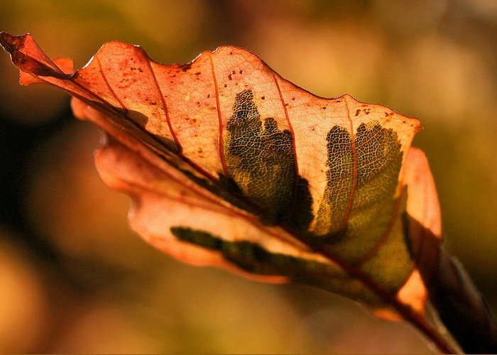 Fall Greeting Card featuring the photograph Tri-color Beech In Autumn by Angela Rath