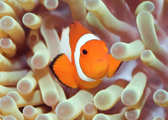 Clownfish Greeting Card featuring the photograph Tropical Fish Clownfish by MotHaiBaPhoto Prints