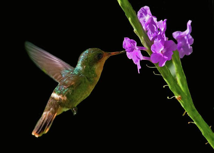 Tufted Coquette Greeting Card featuring the photograph Tufted Coquette by Larry Linton