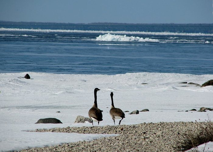 Canada Geese Greeting Card featuring the photograph Waiting For Spring by Keith Stokes