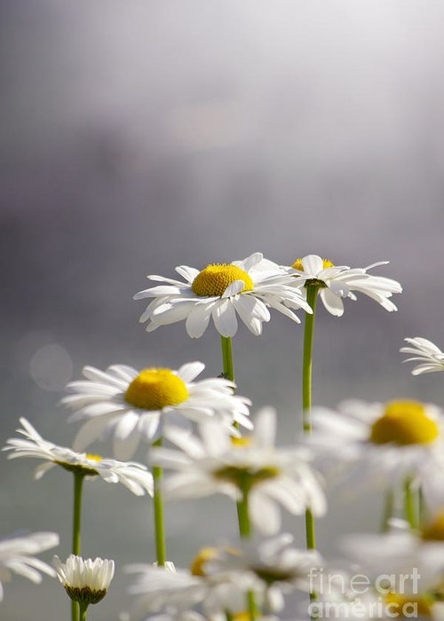 Agriculture Greeting Card featuring the photograph White Daisies by Carlos Caetano