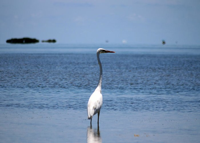White Heron Greeting Card featuring the photograph White Heron In The Keys by Alex Antoine