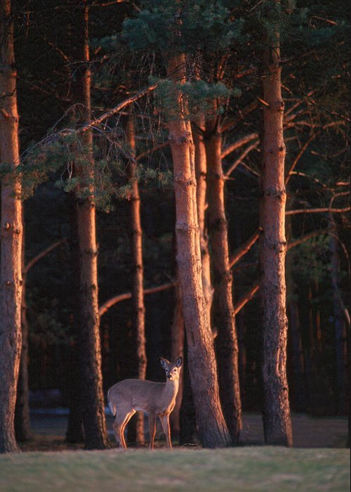 Deer Greeting Card featuring the photograph White-tail Deer by Raju Alagawadi
