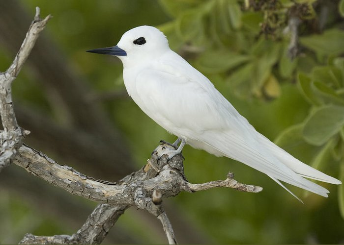 00429704 Greeting Card featuring the photograph White Tern Midway Atoll Hawaiian by Sebastian Kennerknecht