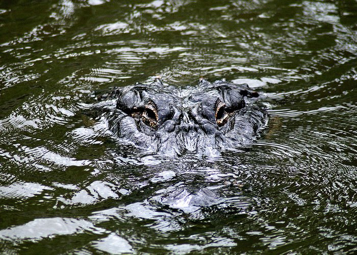 Alligator Greeting Card featuring the photograph Why Hello There by Jason Blalock