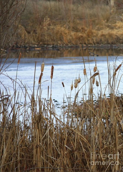 Cattails Greeting Card featuring the photograph Winter Cattails by Carol Groenen