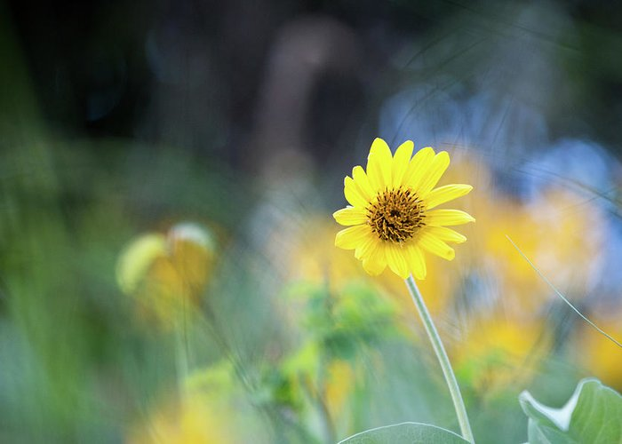 Yellow Greeting Card featuring the photograph Yellow Arrowleaf Balsamroot by Ben McLachlan