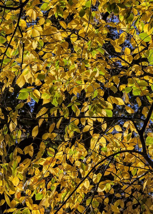 Fall Foliage Greeting Card featuring the photograph Fall Foliage by Robert Ullmann