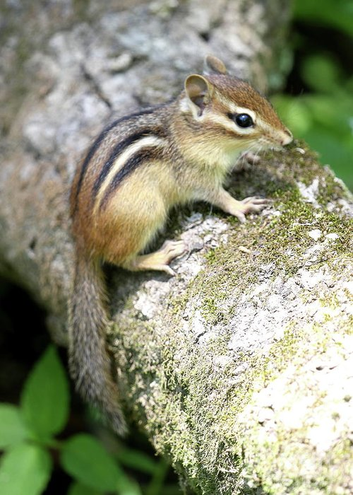 Chipmunk Greeting Card featuring the photograph Chipmunk by Ken Keener