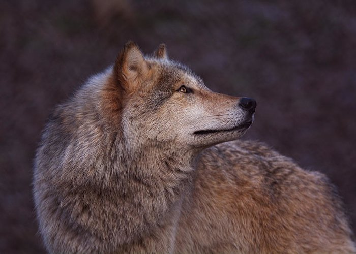 timber Wolf Greeting Card featuring the photograph Timber Wolf by Diane Jensen