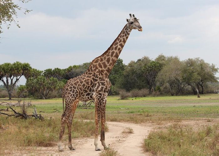 Mammal Greeting Card featuring the photograph Giraffe by FL collection