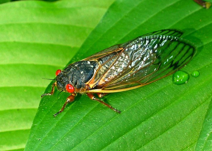17 Greeting Card featuring the photograph 17 Year Periodical Cicada by Douglas Barnett