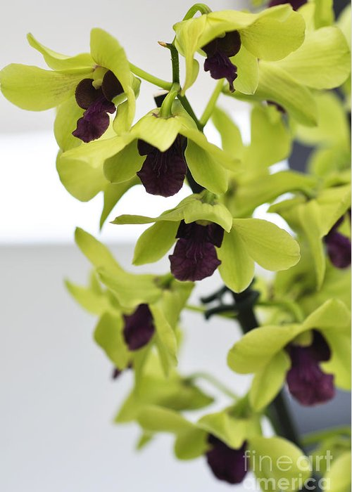 Orchid Greeting Card featuring the photograph Orchids by LS Photography