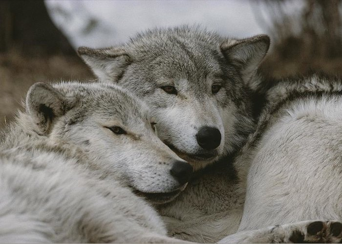 Subject Greeting Card featuring the photograph A Couple Of Gray Wolves, Canis Lupus by Jim And Jamie Dutcher
