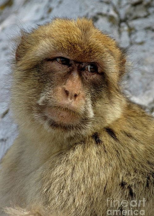 Adorable Greeting Card featuring the photograph Barbary Macaque Looking Away In Annoyance by Sami Sarkis