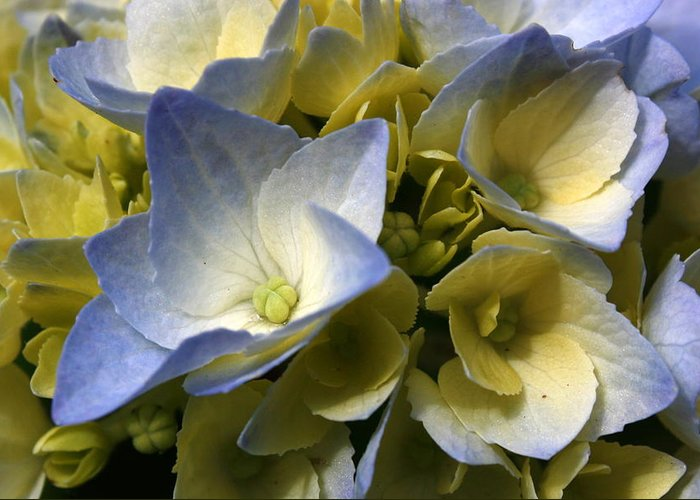 Blue Greeting Card featuring the photograph Blue Hydrangea by Annie Babineau