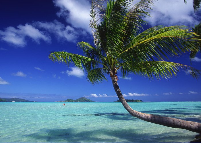 Beach Greeting Card featuring the photograph Bora Bora, Palm Tree by Ron Dahlquist - Printscapes