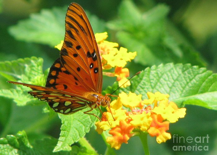 Butterfly Greeting Card featuring the photograph Butterfly by Amanda Barcon