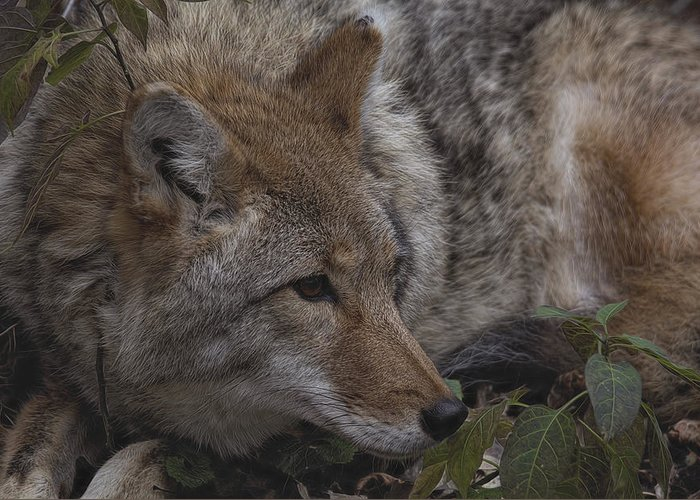 Coyote Greeting Card featuring the photograph Coyote by Diane Jensen