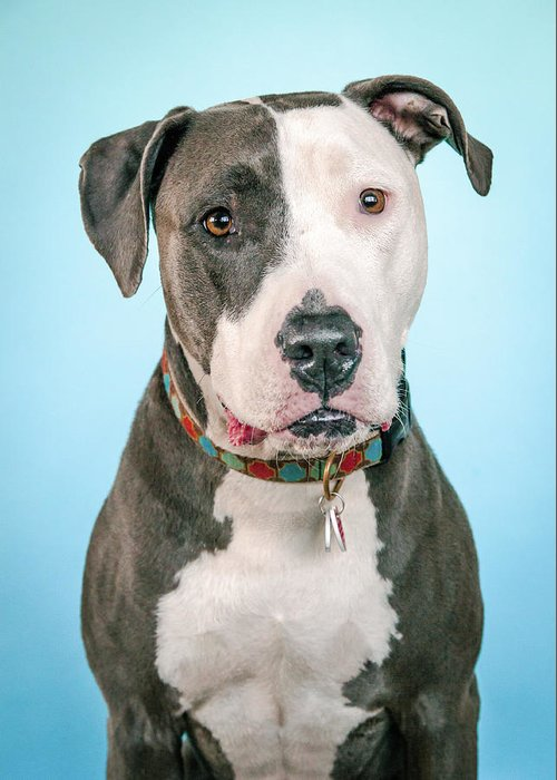 Dog Greeting Card featuring the photograph Cara by Pit Bull Headshots by Headshots Melrose