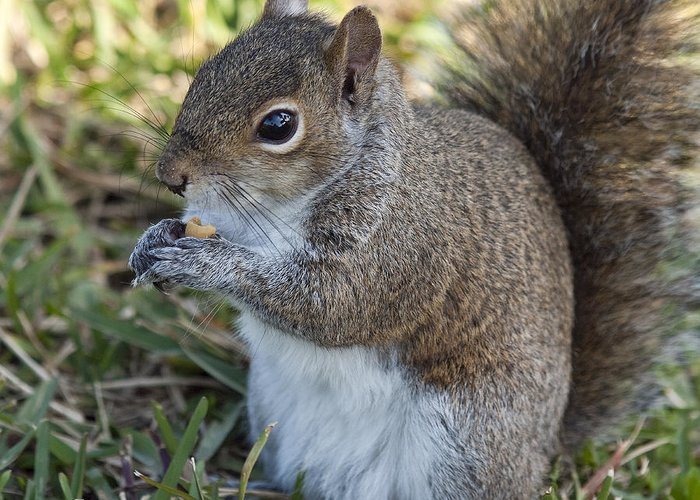 Squirrel Greeting Card featuring the photograph Eastern Gray Squirrel by Allan Hughes