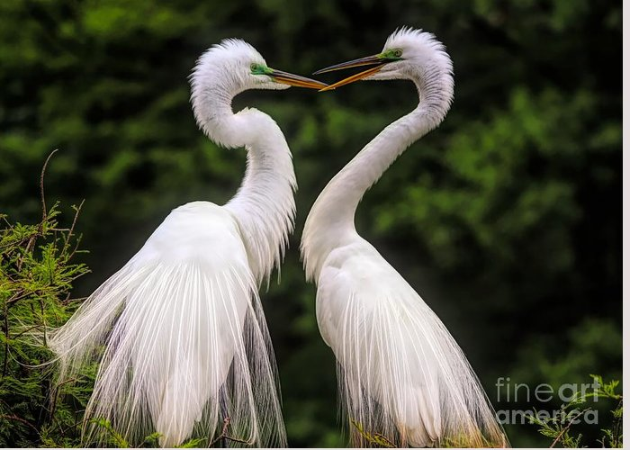 Great White Egret Greeting Card featuring the photograph Egret Mates by Paulette Thomas